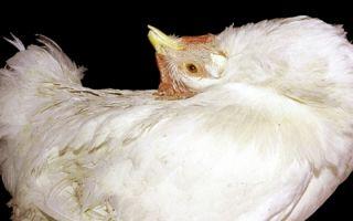 Неизлечимая болезнь марека у кур