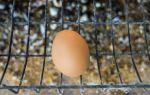 Сколько яиц несет курица в день максимум в домашних условиях?