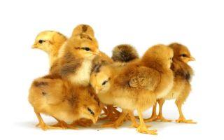 Витамины для цыплят в первые дни жизни — каким брендам можно доверять?