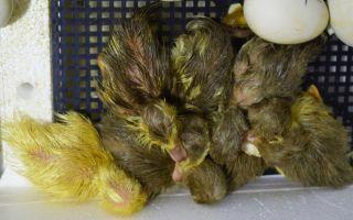Секреты содержания и выращивания чёрной белогрудой утки
