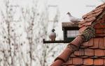 Как сделать счастливым пребывание голубя в неволе?