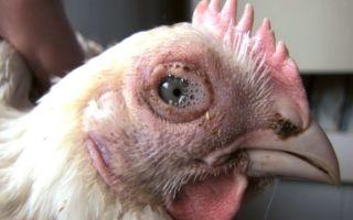 Симптомы и возможные методы лечения сальмонеллеза у кур