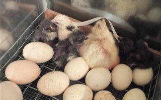Через сколько дней вылупляются цыплята в инкубаторе и под курицей?