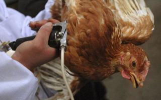 Методы лечения водянки у курицы