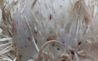 Клопы куриные — как избавить птиц от паразитов?