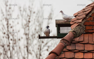 Турецкие голуби — характеристики, повадки и условия разведения