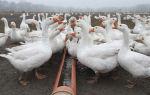 Выращивание гусей в домашних условиях на мясо – рентабельность и выбор породы