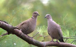 Голубь лесной, сизый и экзотический — характеристики диких голубей