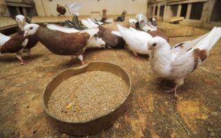 Кормление голубей в домашних условиях летом и зимой