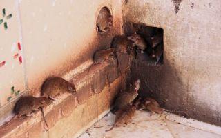 Как избавиться от крыс в курятнике – популярные методы и способы
