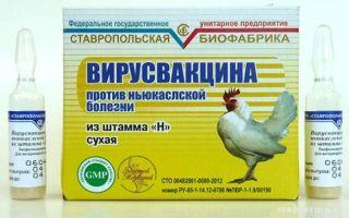 Применение вакцины от спирохетоза спасает поголовье кур от гибели