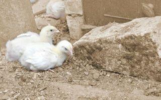 Цыплята сели на ноги или опустили крылья — когда необходимо лечение?