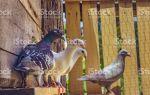 Простые советы по выращиванию, разведению и спариванию голубей