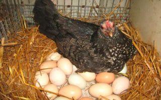 Как повысить яйценоскость кур в домашних условиях?