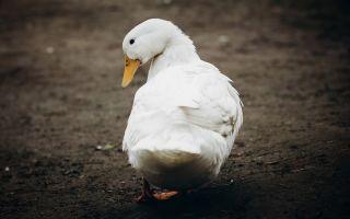 Утка благоварская: особенности выращивания «пернатой команды»