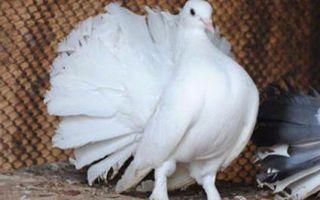 Голуби павлины — о внешнем виде, содержании, рационе и разведении