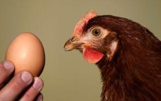 Почему куры не несутся — что делать при снижении или отсутствии яйценоскости?