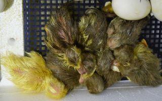 Инкубация утиных яиц в домашних условиях — основные правила и нюансы