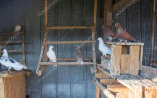 Андижанские голуби — птицы, завораживающие своим полетом