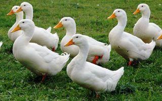 Описание, характеристика и особенности разведения утки агидель
