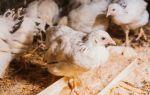 Симптомы и признаки птичьего гриппа у цыплят бройлеров и несушек
