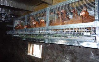 Клеточное содержание кур-несушек в домашних условиях — размеры клеток и правильный уход за птицами
