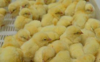 Чихание и хрипы у цыплят-бройлеров: причины, симптомы и лечение