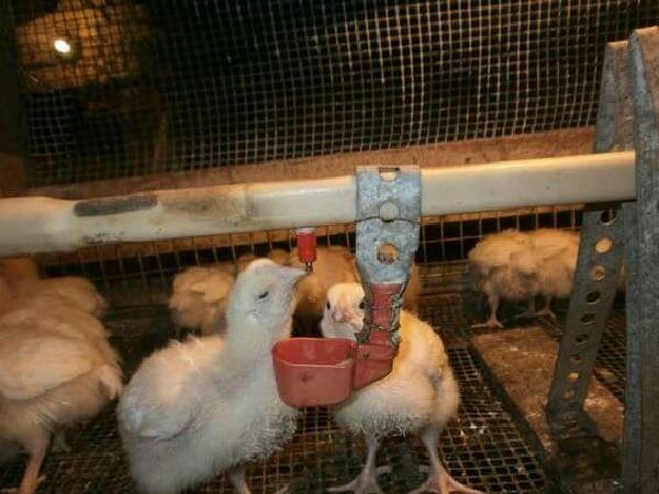 Для чего и какие антибиотики подходят для цыплят бройлеров в первые дни жизни и старше