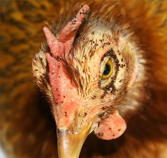 Вши у домашних кур как выявить и избавиться от паразитов