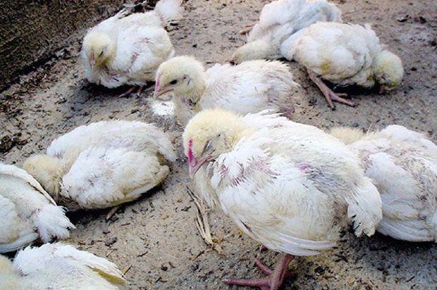 Почему хрипят цыплята бройлеры