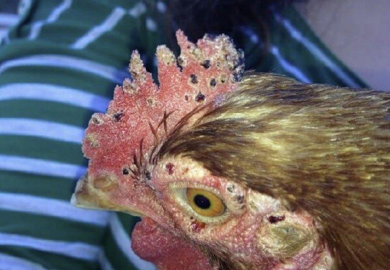 Как истреблять вшей у курей птицы
