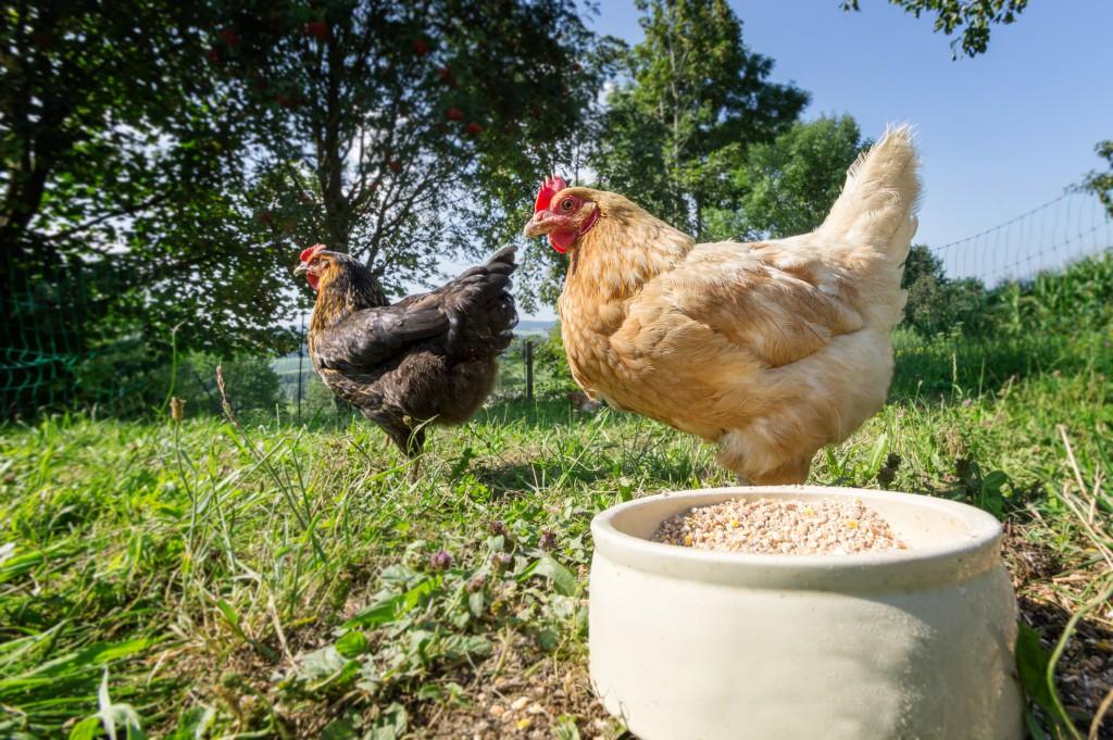 Как приготовить мешанку для цыплят бройлеров и несушек?