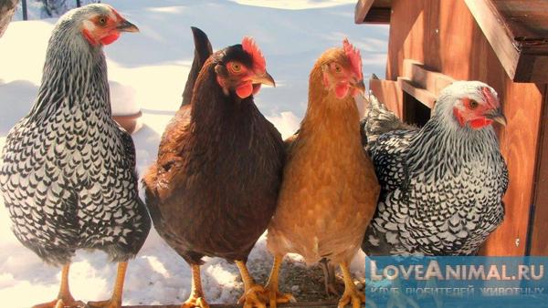 Куры авиколор — описание породы и условий содержания птиц