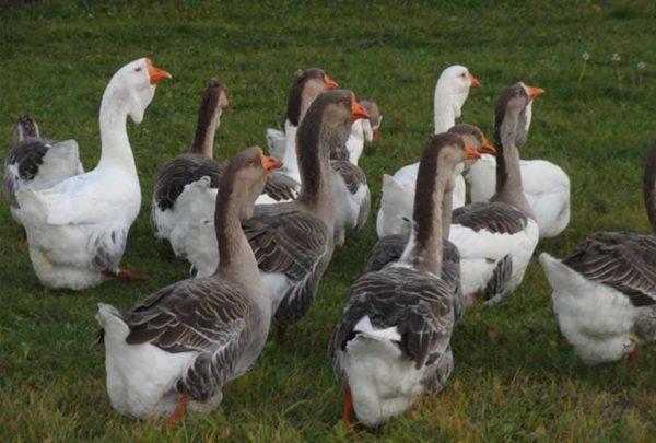 Самые крупные породы гусей которые подходят для разведения