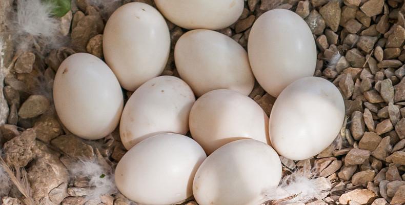 Польза и вред утиных яиц, употребление в пищу и в косметологии