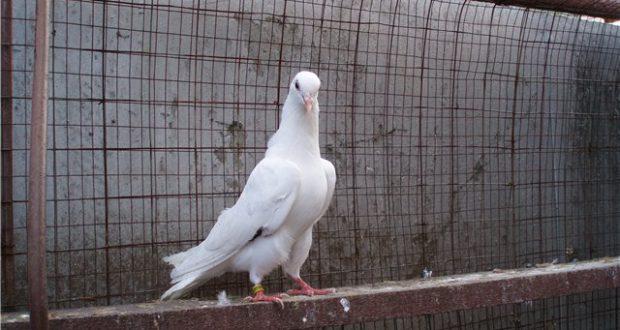 Описание породы узбекские голуби
