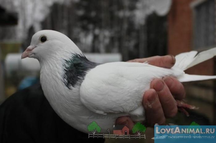 Узбекские голуби: разновидности бойной породы
