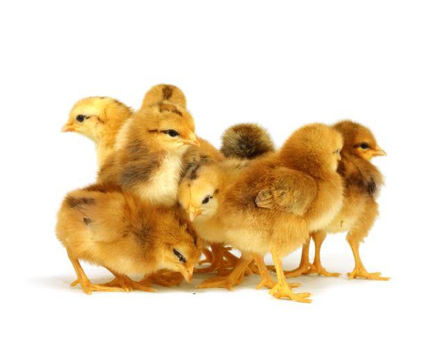 Витамины для цыплят бройлеров - инструкции по применению Чиктоника Аминовитала БМВД зеленого лука видео